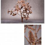 COAST BANKSIA - Banksia integrifolia -plus detail artwork